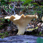 WhiteChantrelle1